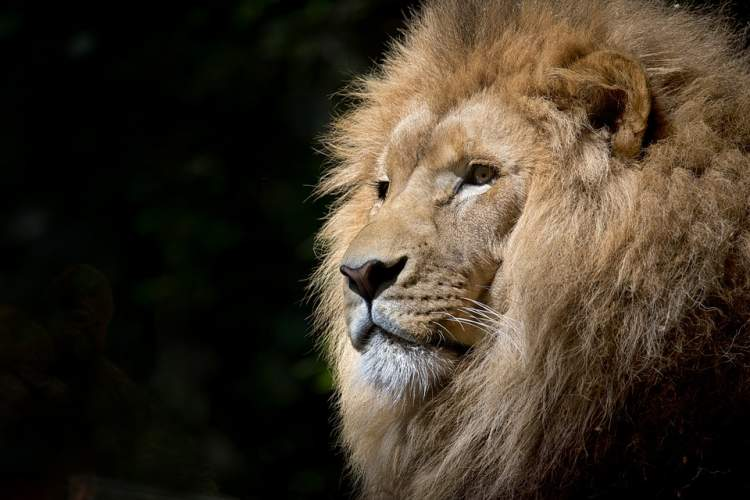 aslan kovalamak görmek