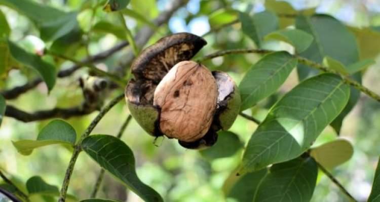ceviz ağacından ceviz koparıp yemek