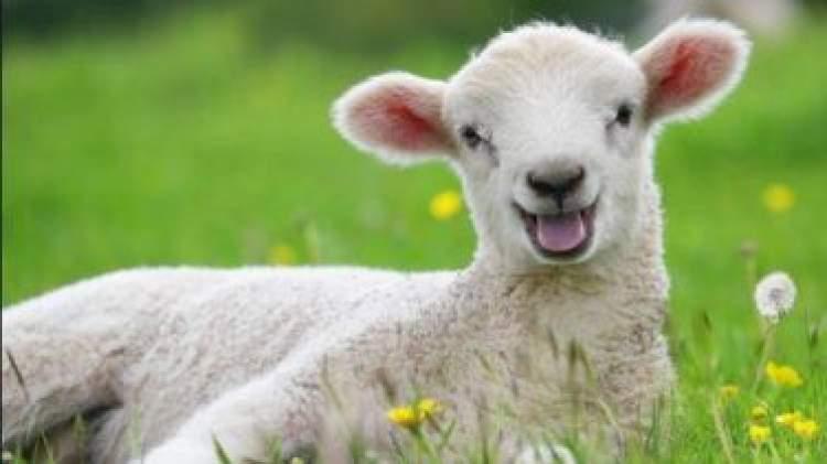 koyunlar'görseller' ile ilgili görsel sonucu
