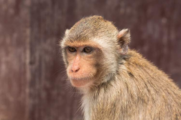 küçük maymun sevmek