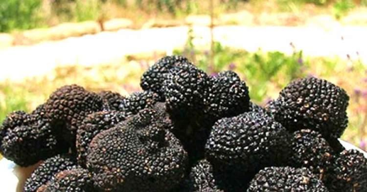 siyah mantar toplamak