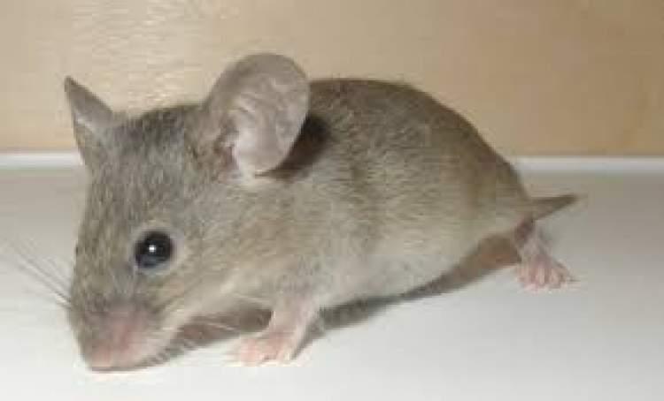 fındık faresi görmek