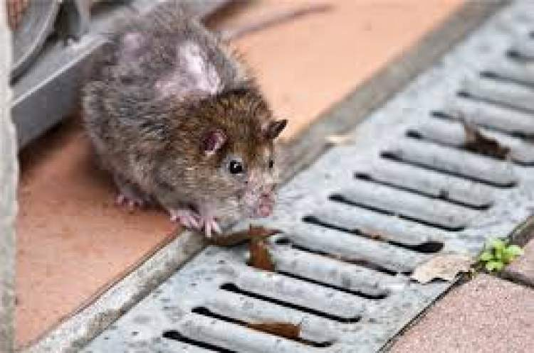 fındık faresi öldürmek